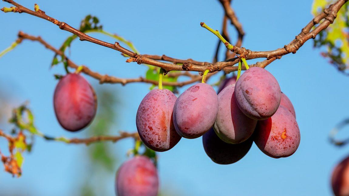 Arbres fruitier